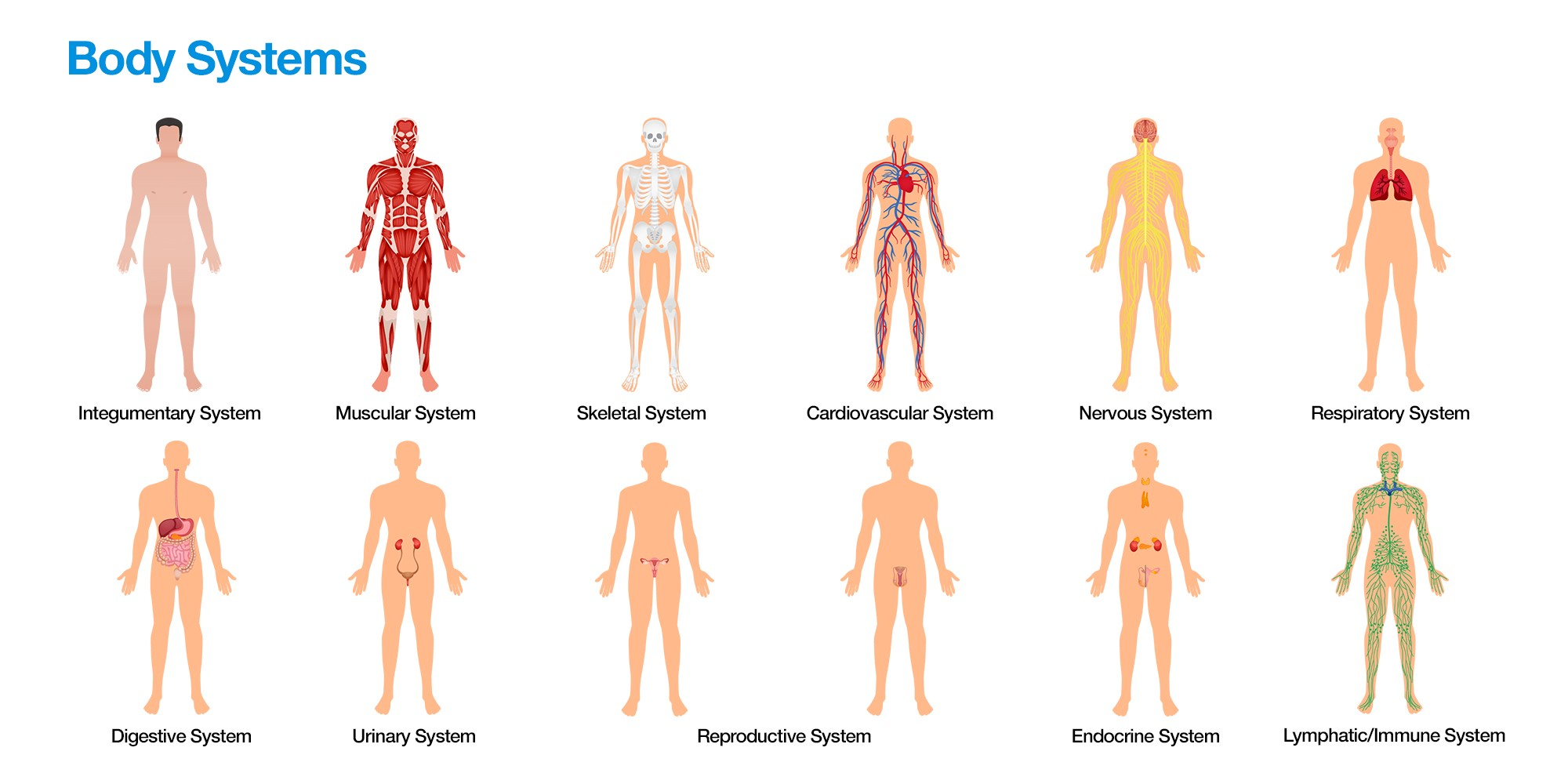 As you take in this knowledge your nervous system is controlling voluntary and involuntary actions the nervous system includes the brain spinal cord