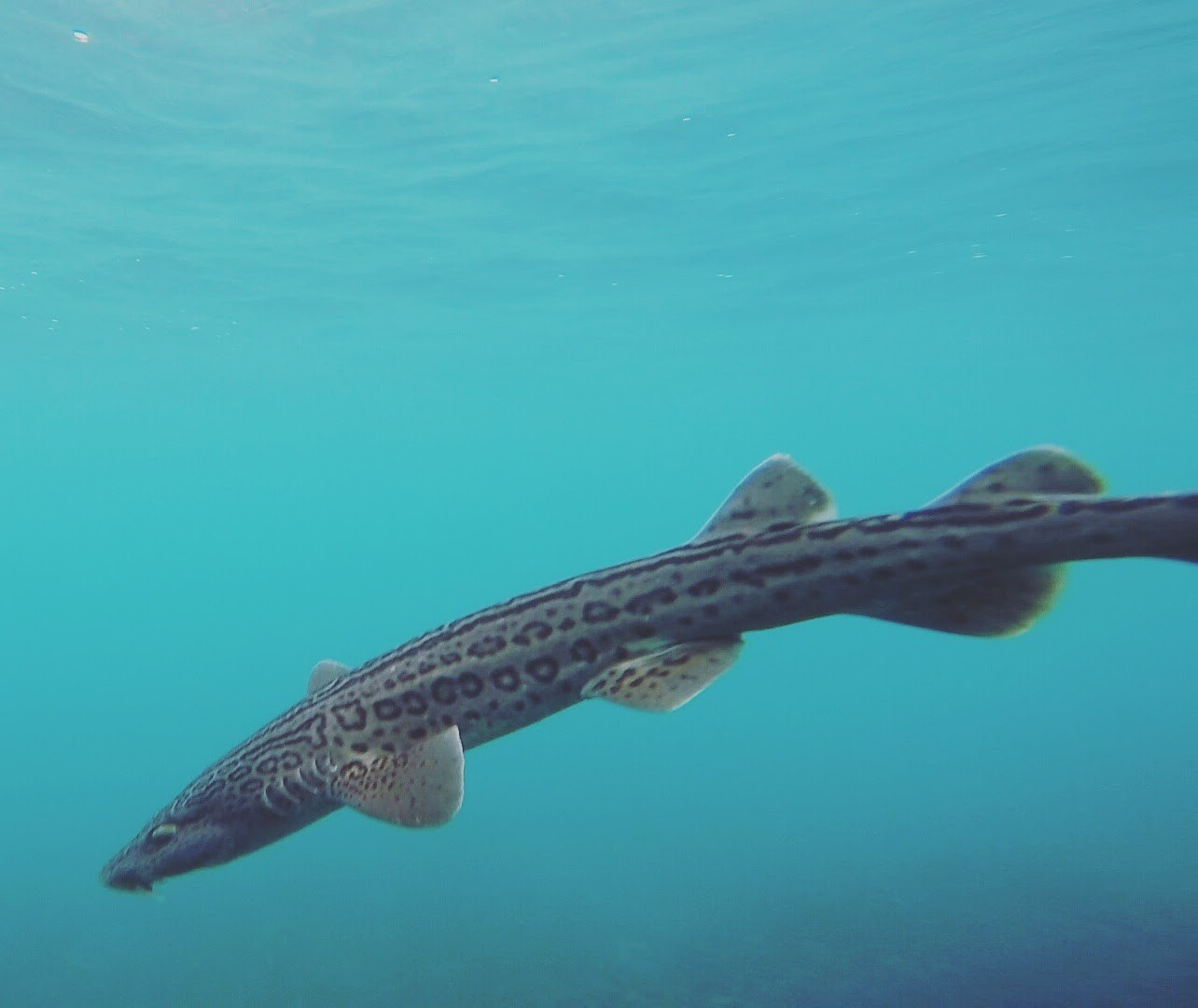 After being tagged during an Oceans Research Institute tag and release project this leopard catshark, an endemic species of Southern African shark, swims off. Photo by Esther Jacobs, Oceans Research Institute.