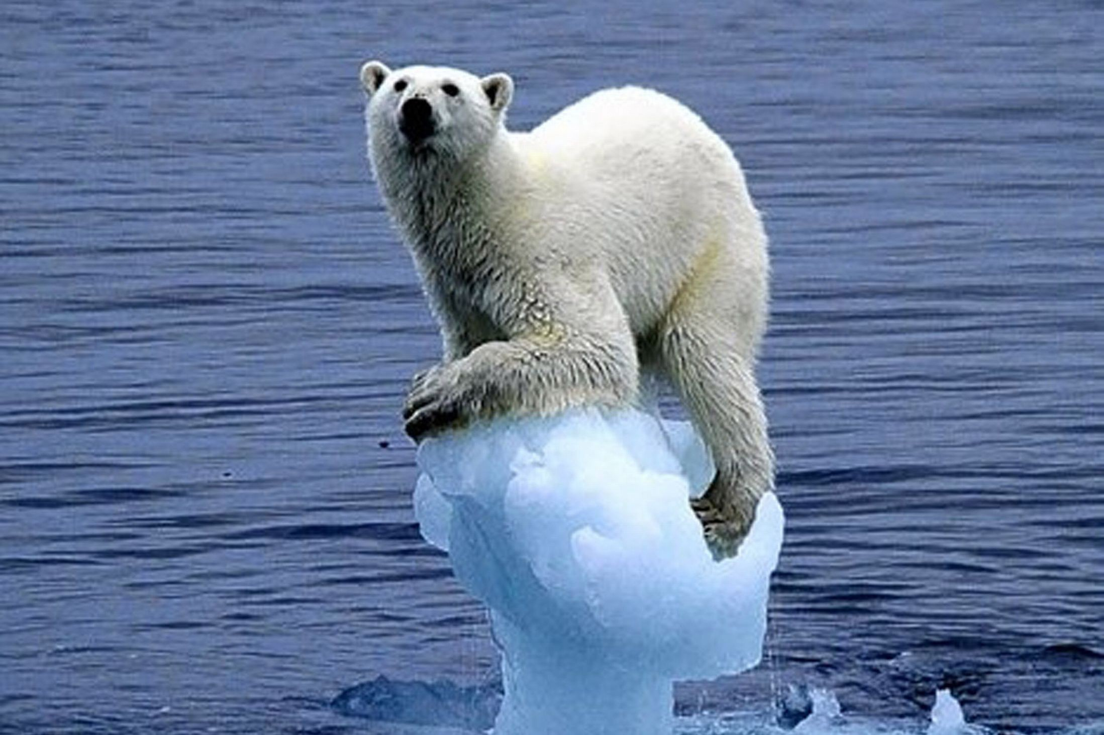 Global Warming Not Just A Polar Bear Issue -8294