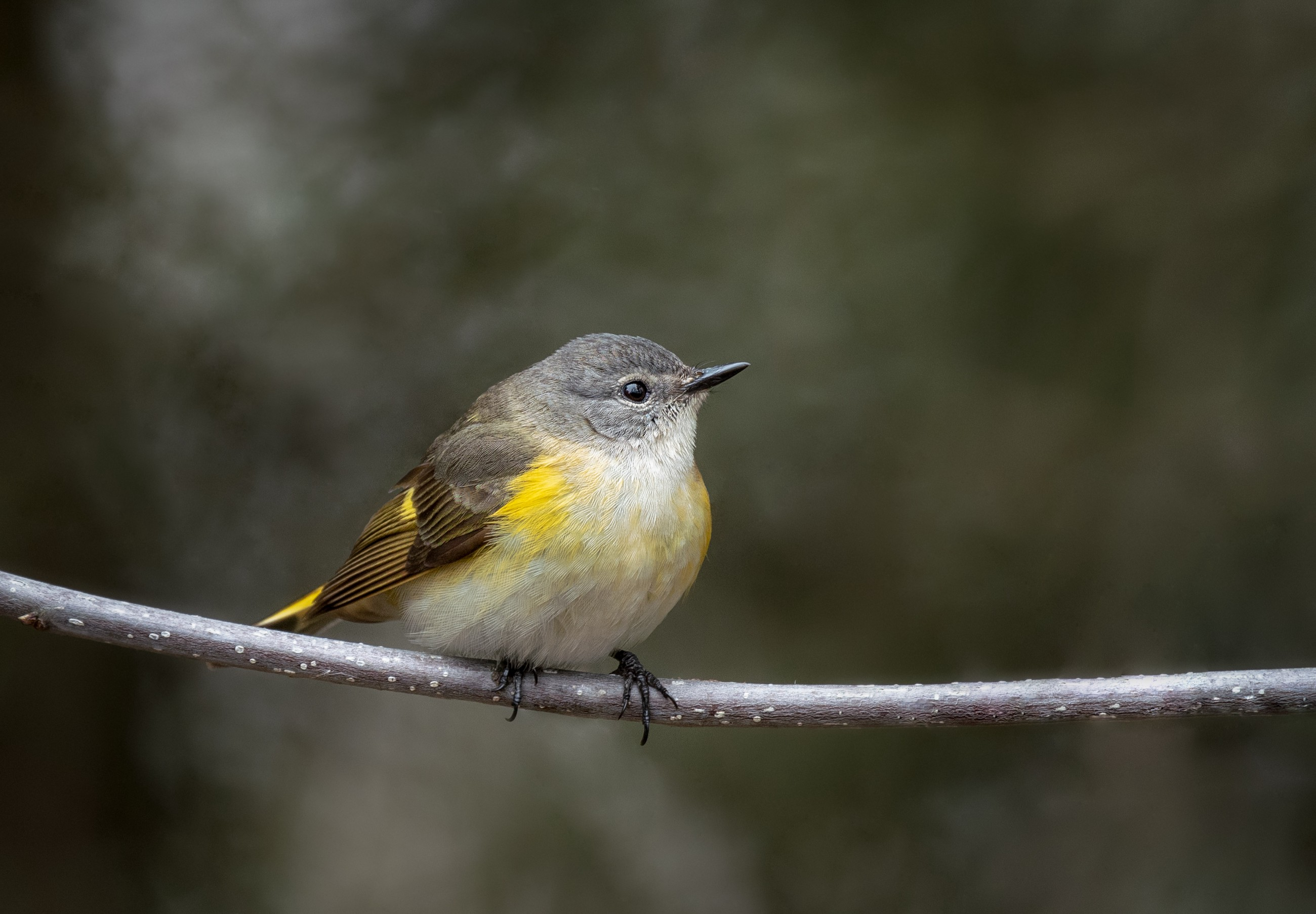 The Art of The Bird—Warblers.