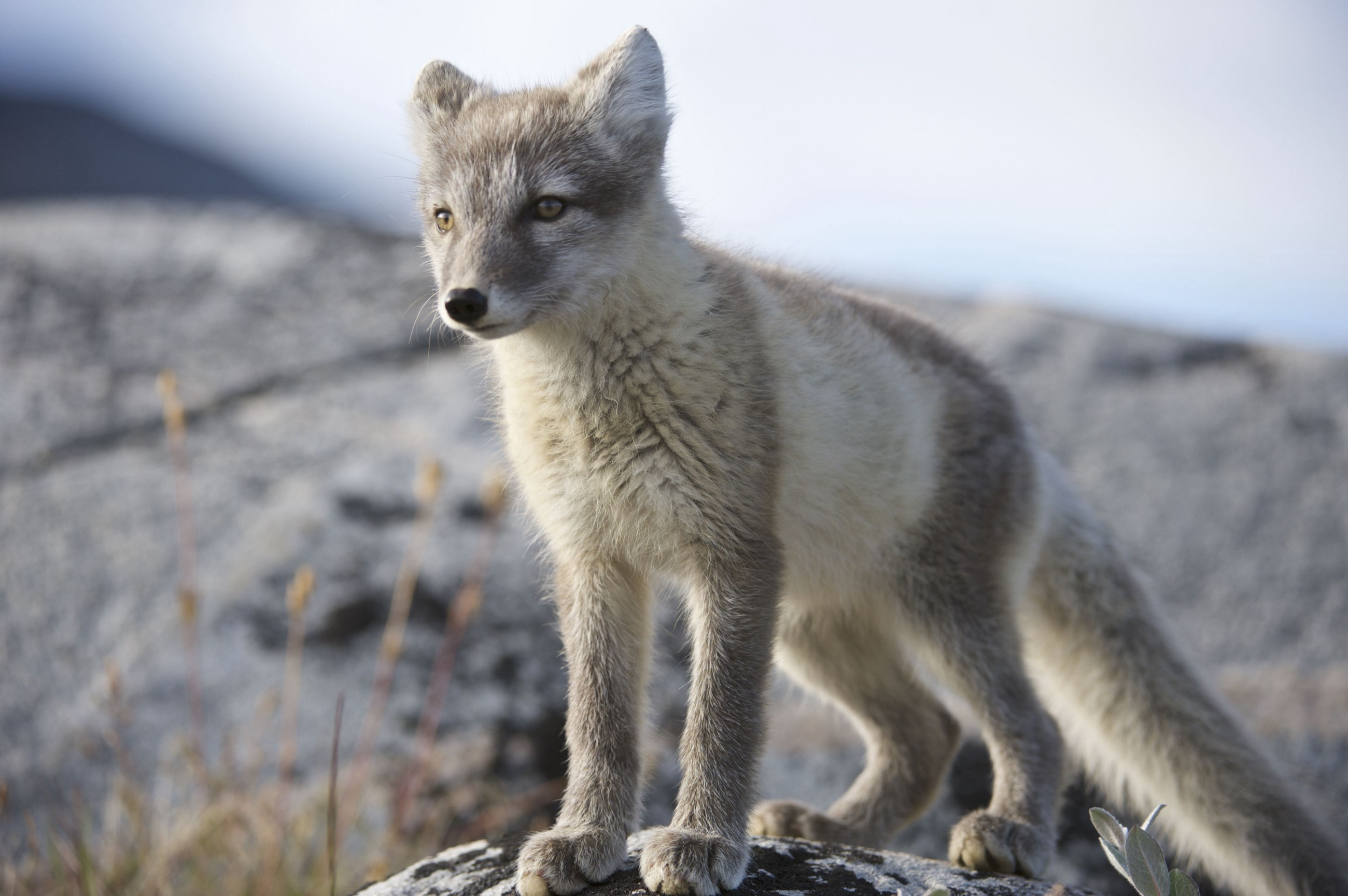 Why One Arctic Fox Took the Longest Migration in the Species' History