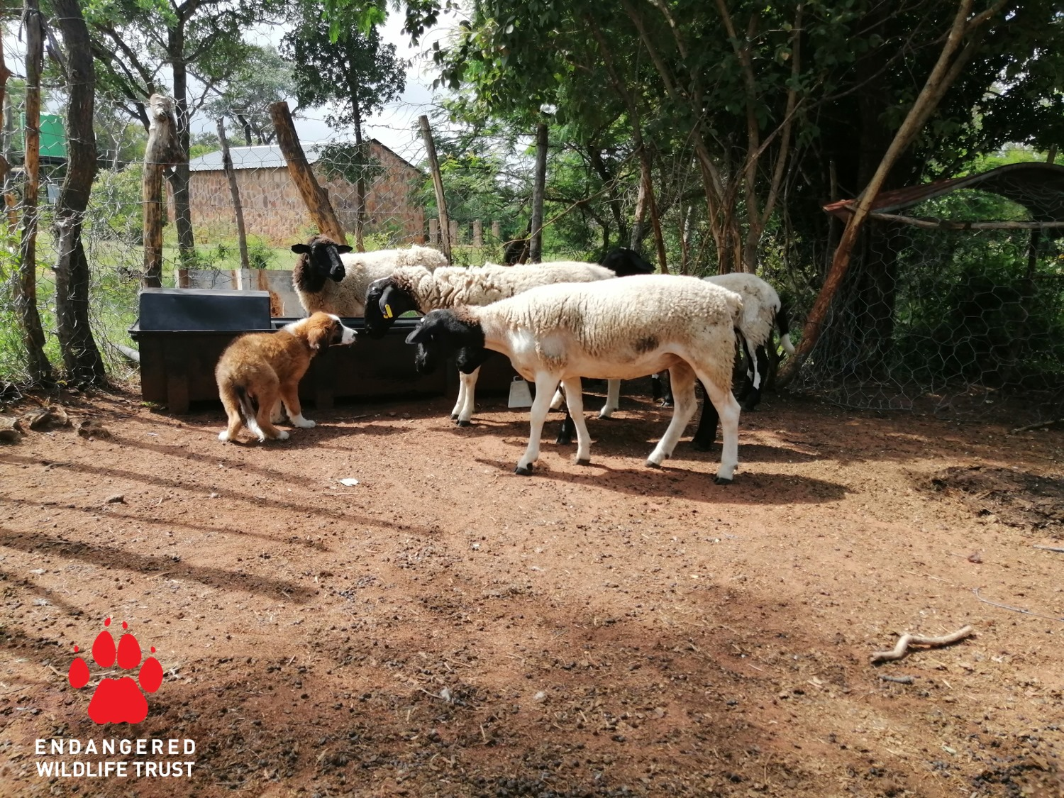 Exposing young puppies, selected to be livestock guardian dogs, to herds of livestock is essential for developing them into effective proctors of livestock. Photo by the Endangered Wildlife Trust.