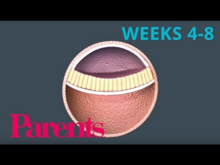 An Embryo Forms: Weeks 4 To 8 Of Pregnancy | Parents