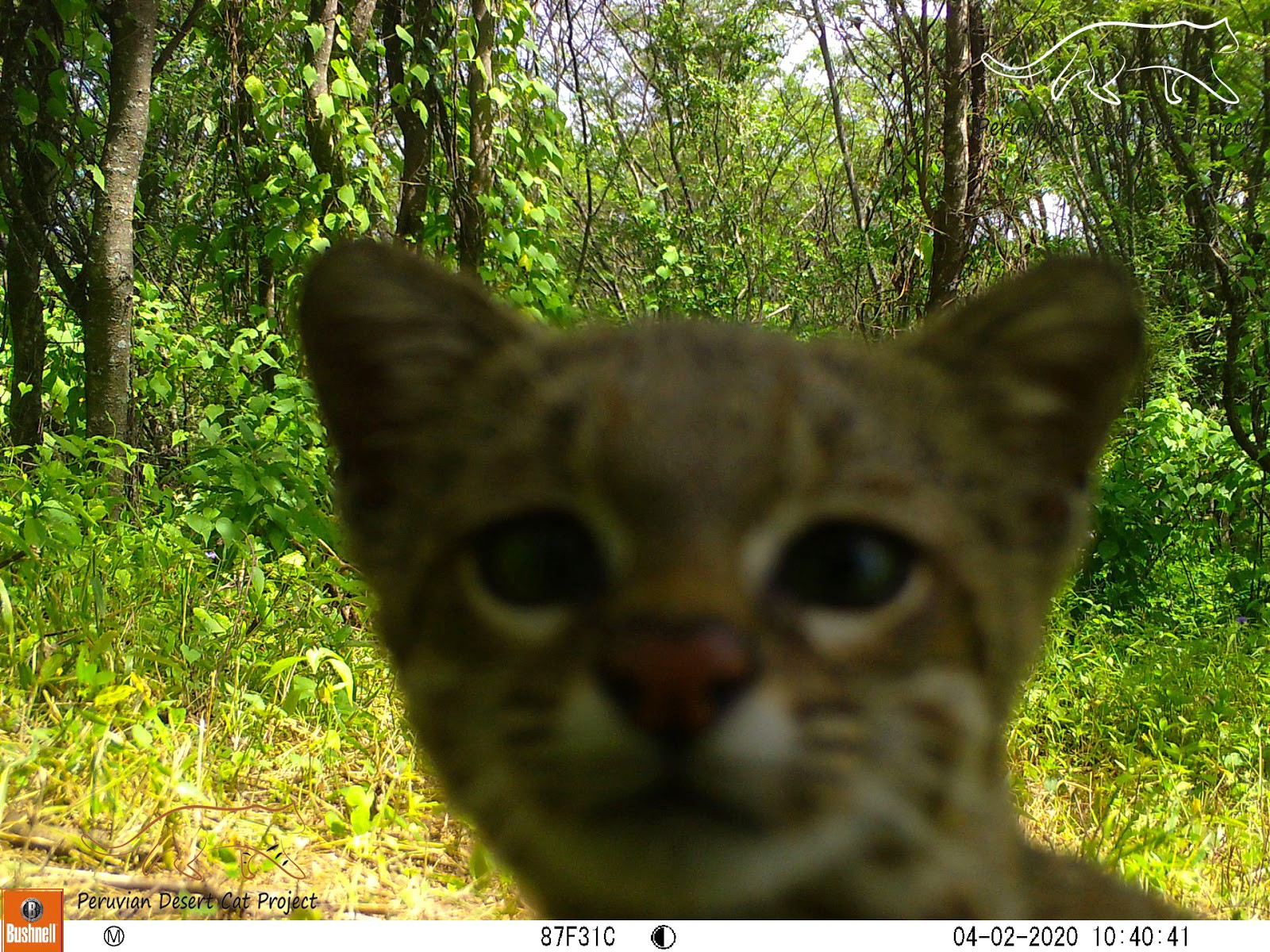 An inquisitive Pampas cat captured giving the motion activated camera trap a sniff.
