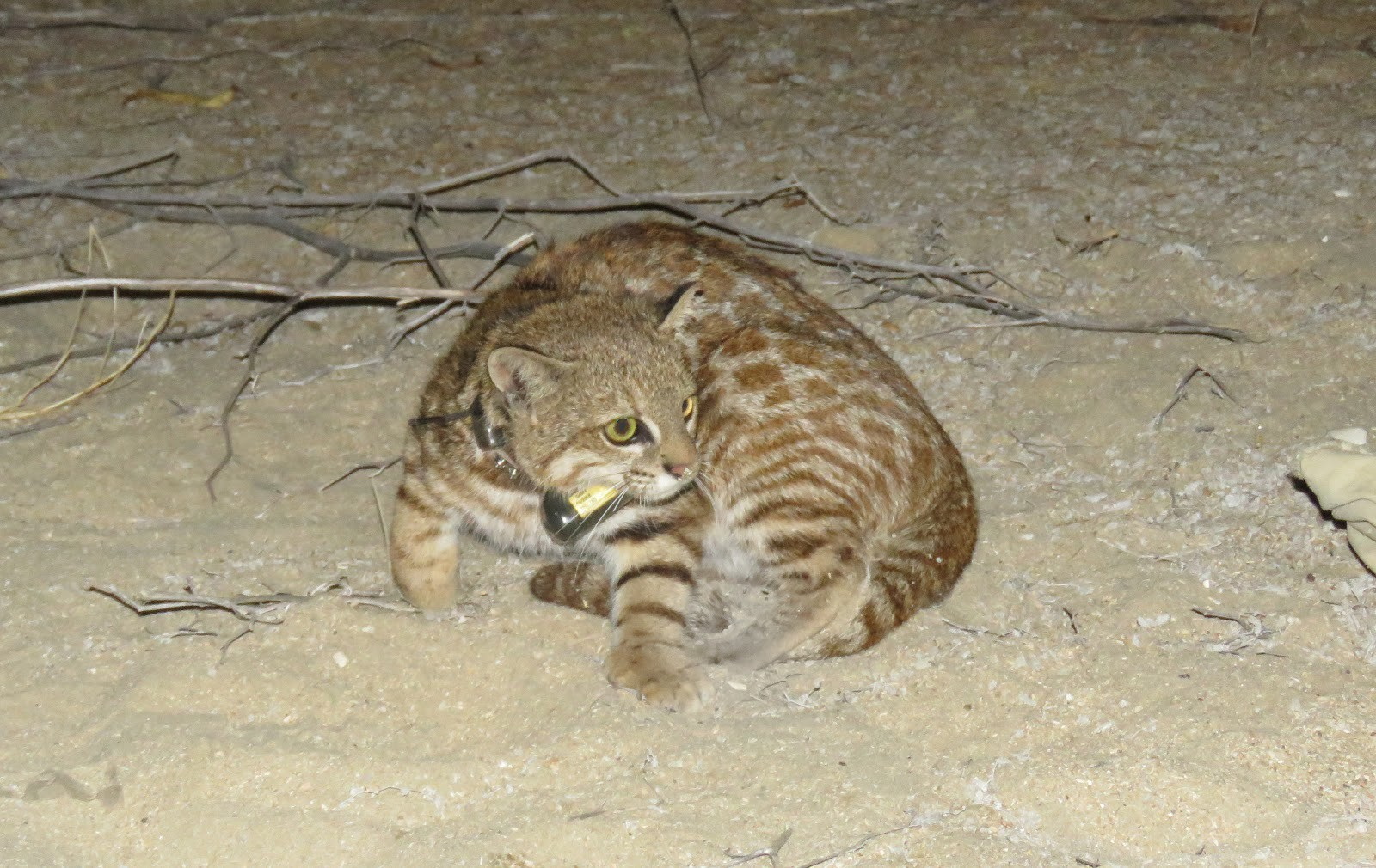 A collared Pampas cat on the move in San Pedro de Vice Mangrove.