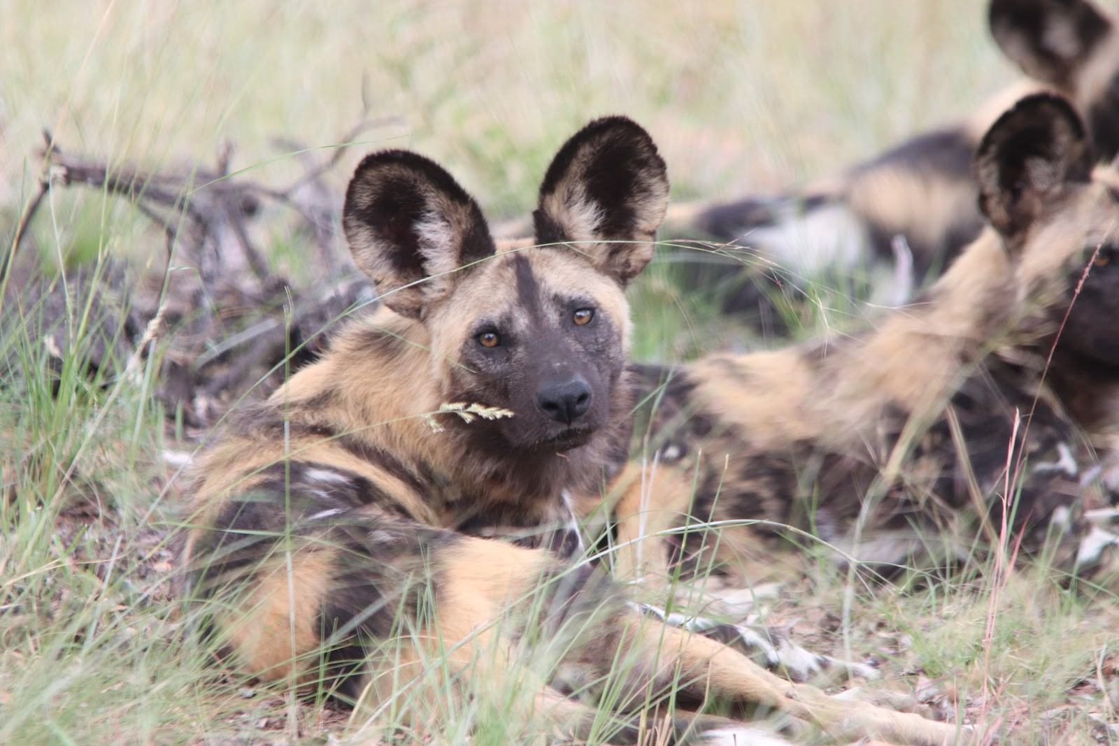 They go by many names 'painted dogs,' painted wolves,' 'hyena dogs,' 'African hunting dogs,' 'ornate wolves,' 'African wild dogs,' or more commonly just 'wild dogs.' These are the largest canines native to Africa and are more closely related to wolves than domesticated dogs. There has been a big push to rebrand them as 'painted wolves,' to increase their status and distinguish them from wild feral dogs. Photo by Derek Van Der Merwe.