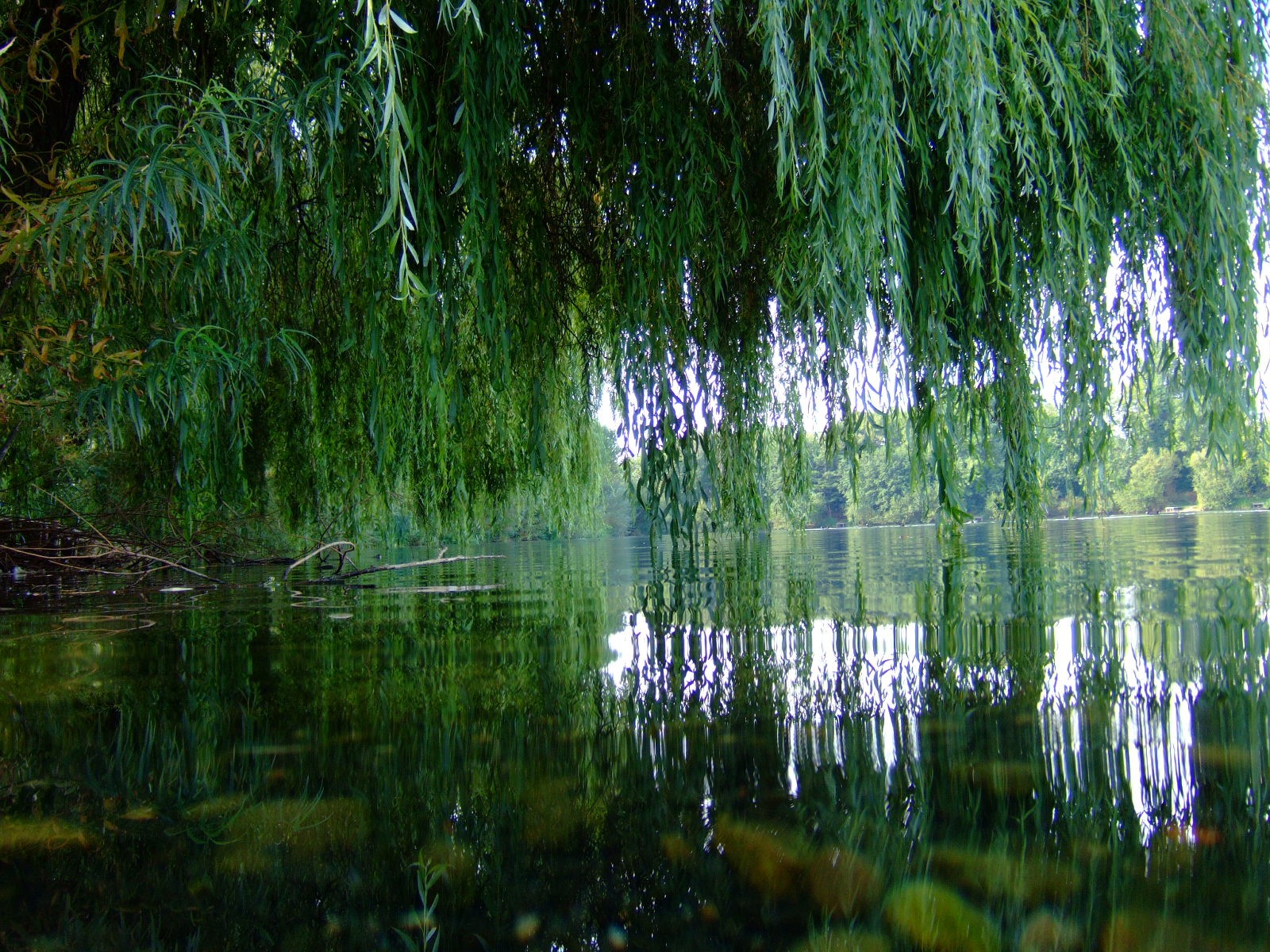 A flexible Willow tree. Picture by John Seb Barber — Flickr