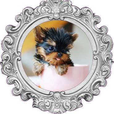 Teacup Yorkie Puppies Maltese Puppies Medium
