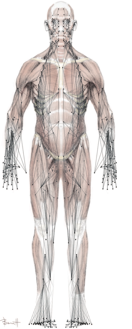 New Network Model of the Musculoskeletal System Can Predict ...