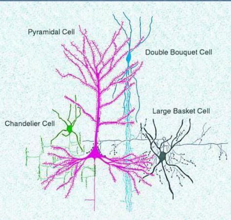 How motor and sensory areas of the cerebral cortex works for brain betz cell aloadofball Gallery