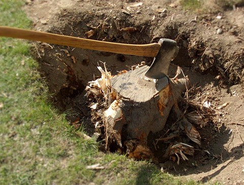 This Is The Manual Method Of Taking Out Tree Stumps Will Take You A Day Or More Until Two Weeks Major Tools Needed Here Are An Ax And Shovel