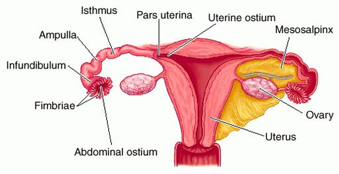 Is it possible to get pregnant without a uterus? – Camila S ...