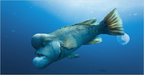 A picture of a fish that can change sex