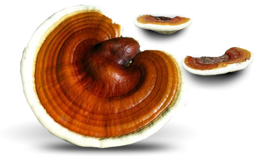 ganoderma lucidum vs. adhd & other chronic diseases! and the, Skeleton