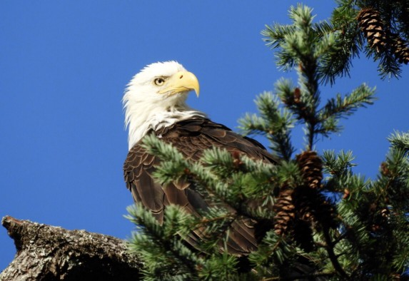 Bald eagle perched in fir tree, head cocked behind, a profile  staring intently. Head white, beak yellow and body black.