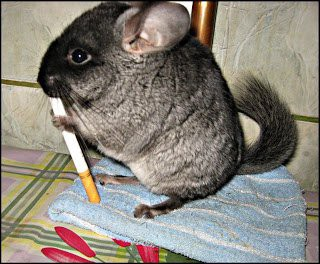Let S Get One Thing Out Of The Way There Is No Chinchilla In My Dorm Room If You Are Ra Do Not Look For I Don T Have A