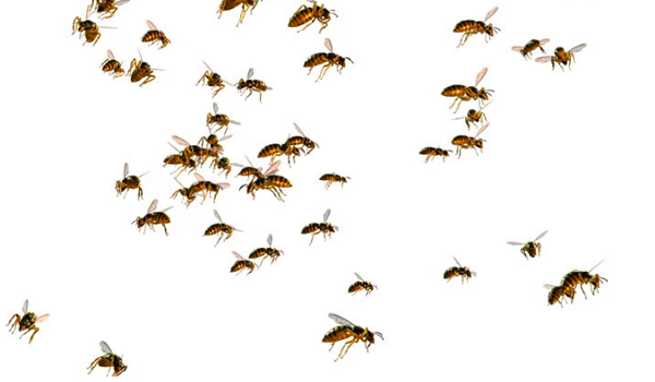 Hacker bees are decentralized