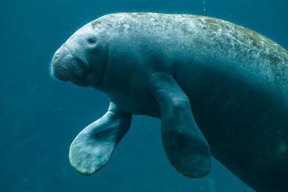 Antillean manatee. Credit: Giovanni Grotto Alamy
