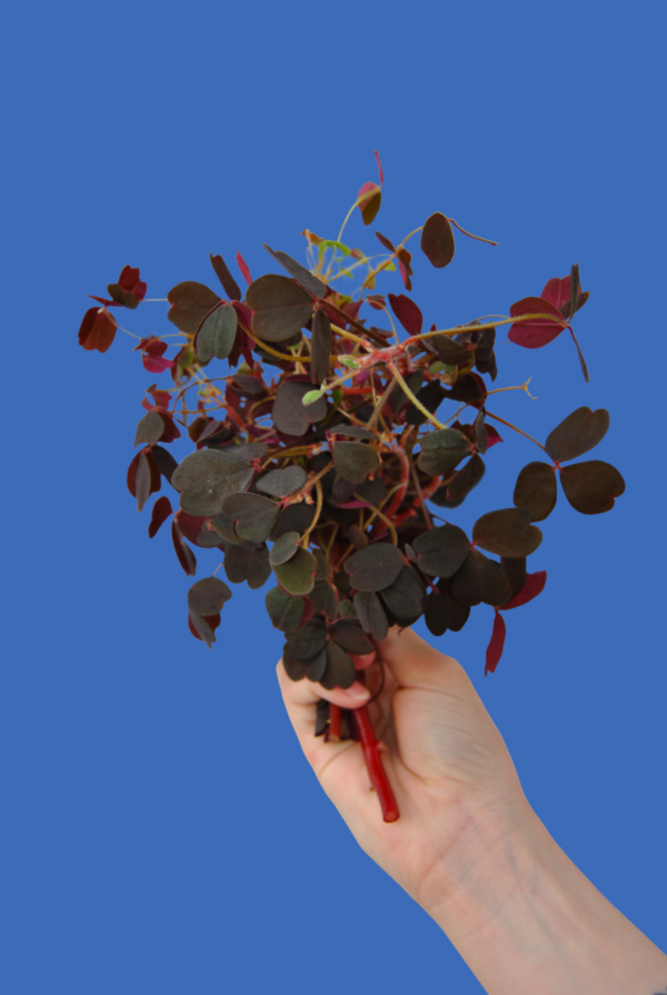 Red Oxalis held in a persons hand on a blue background