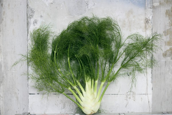 A beautiful fennel plant