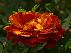 A Marigold blooming in the Spring.