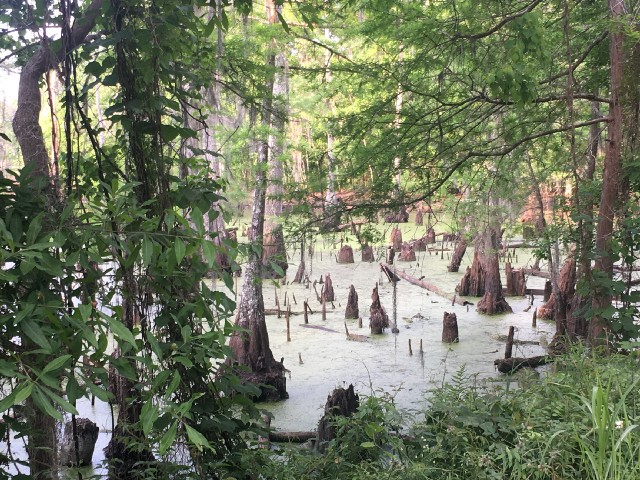 View of a hidden swamp of cypress knees encircled in pines.