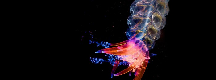 Picture showing a siphonophore meduase.