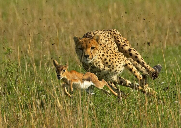 Image result for cheetah deer national geographic