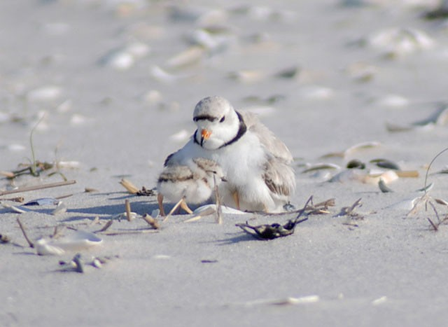 Piping plover with a chick on sandy beach