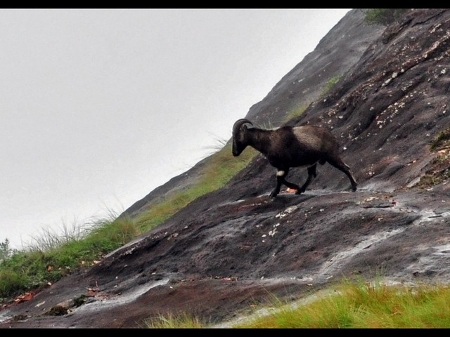 The Eravikulam National Park is a sanctuary located in Munnar to protect the endangered Nilgiri Tahr. The place is the natural habitat of this rare mountain goat which is facing extinction . Rajamala region is the tourism zone of the Eravikulam National Park. Flee to Rajamala if you want to see herds of Nilgiri Tahr roaming around freely. No visitor is allowed beyond the tourist area due to security reasons.