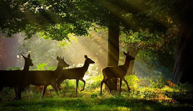 4 wild deer walk through the woods