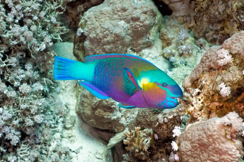 Protecting one fish could keep caribbean coral reefs from for Caribbean reef fish