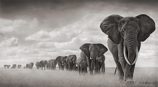 A wild herd of elephants walk in line through field