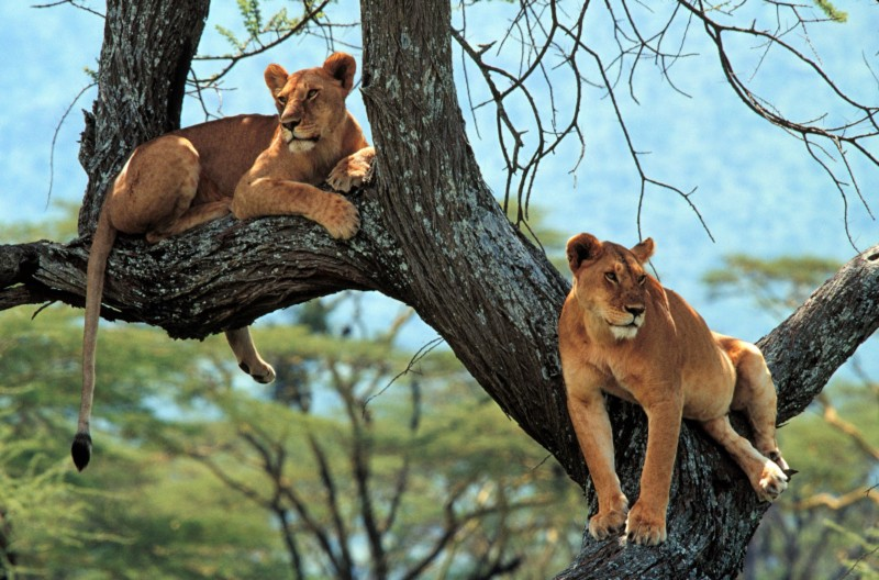 2 wild female lions sit in a tree