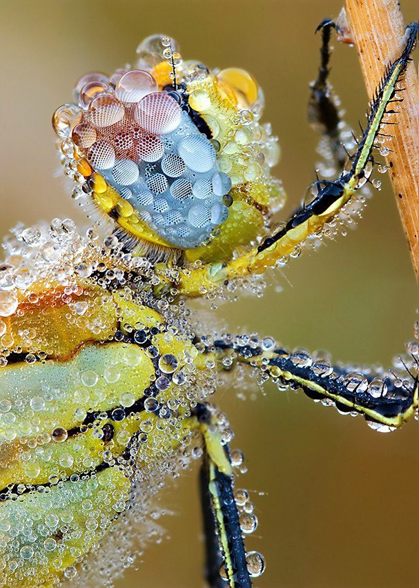 Dragonfly-covered-in-dewdrops
