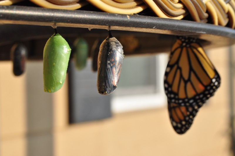 Photo by Suzanne D. Williams on UnsplashCocoon, butterfly emerging from cocoon, and butterfly next to each other