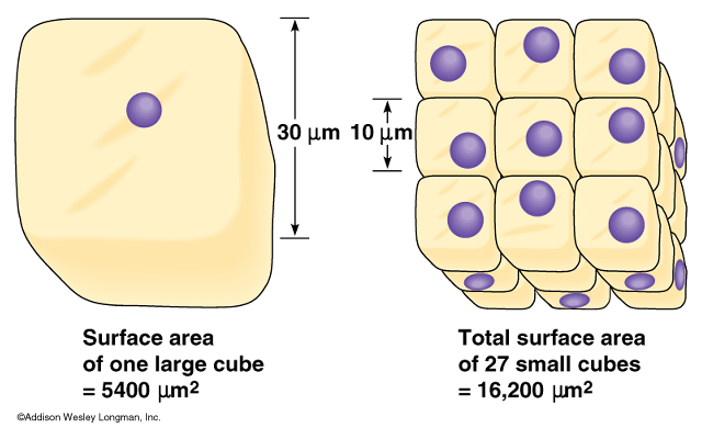 relationship between surface area to volume ratio and diffusion time