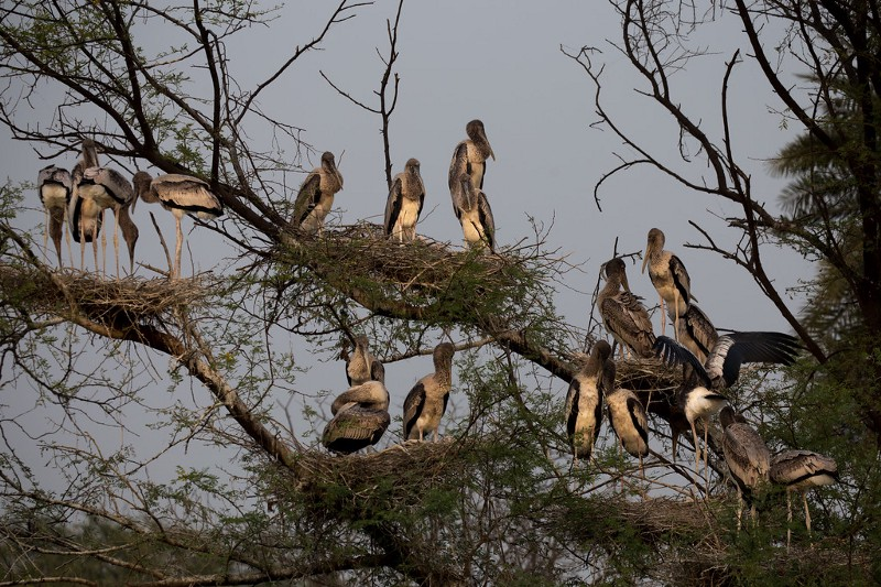 Nesting Storks at Keoladeo Ghana National Park in Bharatpur, India