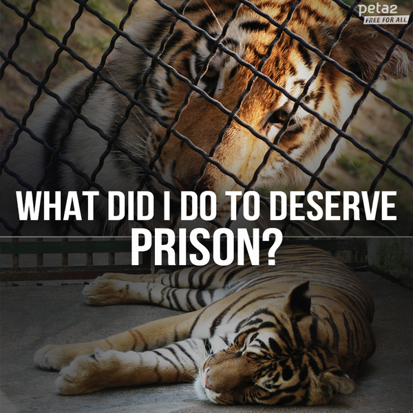 2 images of a sad tiger in captivity