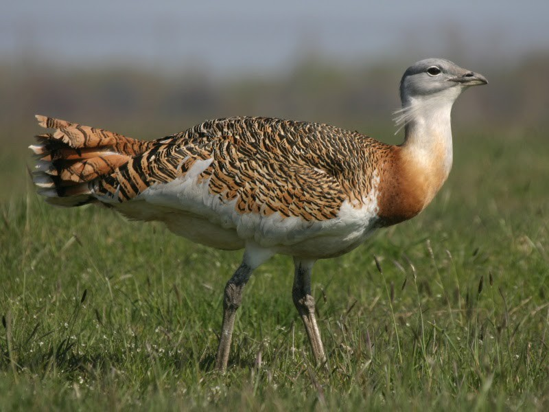 Hard Choices. India's Bustard Has a Handicap and the Green Movement a Dilemma