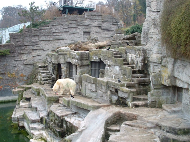 A polar bear stands alone in captivity