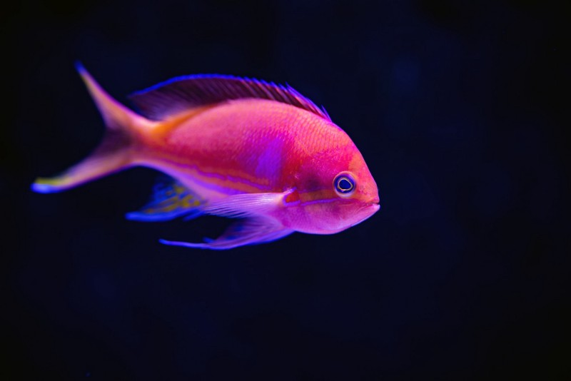Anthias are pretty fish which school in large numbers over tropical coral reefs.