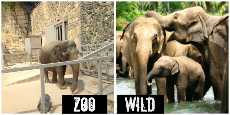 2 images comparing lone captive zoo elephants and wild elephant families