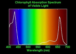 A graph showing the amount of chlorophyll absorption across the light color spectrum, with a spike in absorption under blue and red lights.
