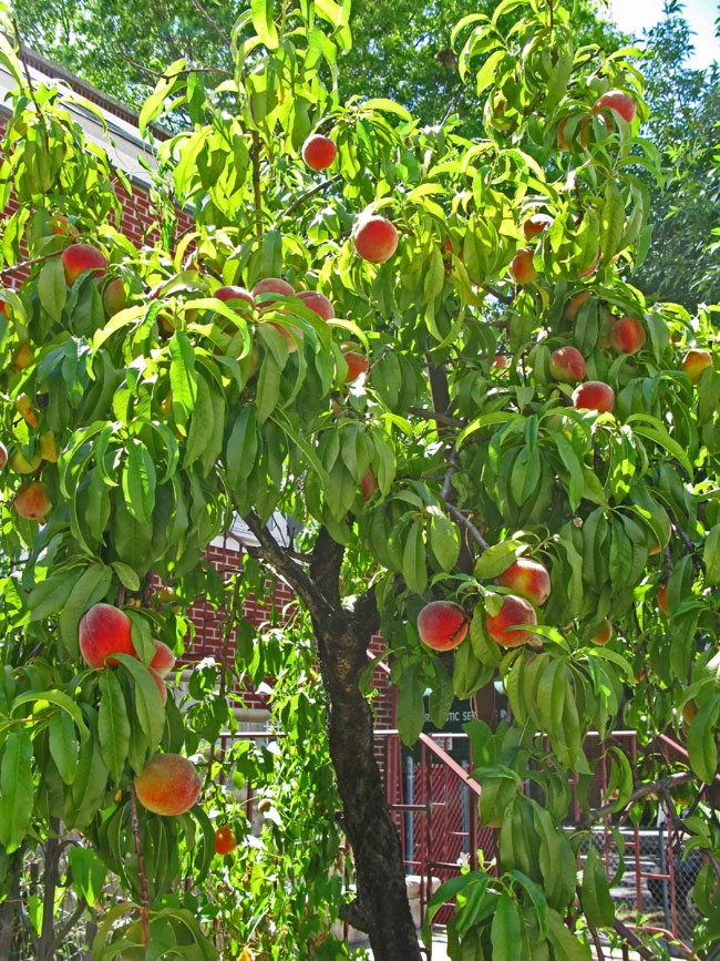 The Secret Dreamy Peach Grove Of New York City The Awl