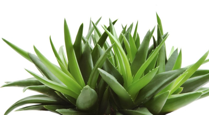 Top 10 Amazing Medicinal Houseplants And Herbs From The Cherokee People : Plants