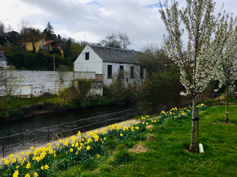 Yellow daffodils next to a river