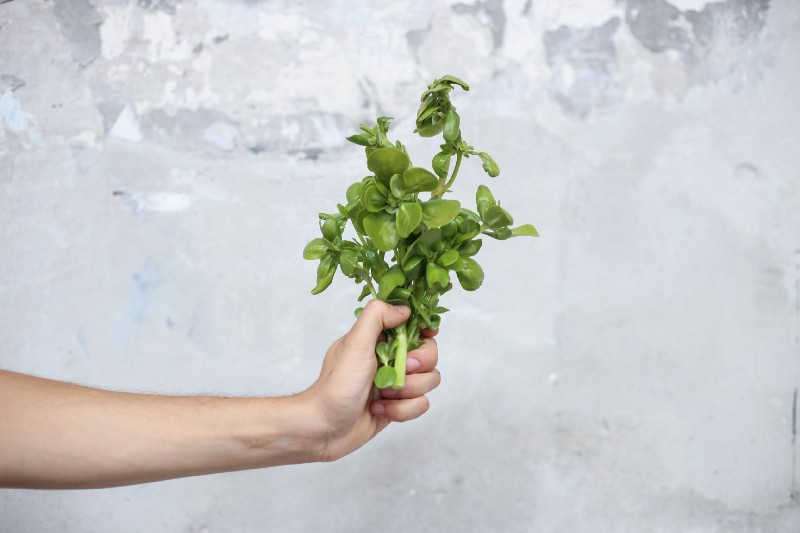 A person holding a purslane plant
