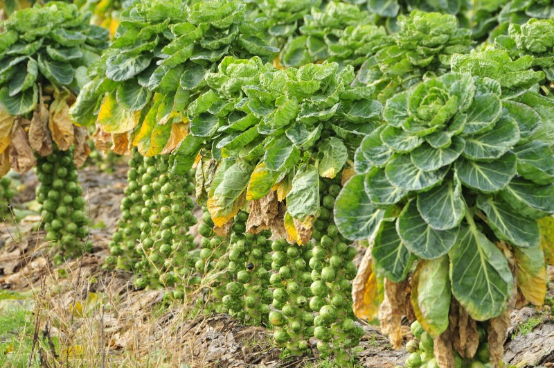 Brussel sprouts grown naturally