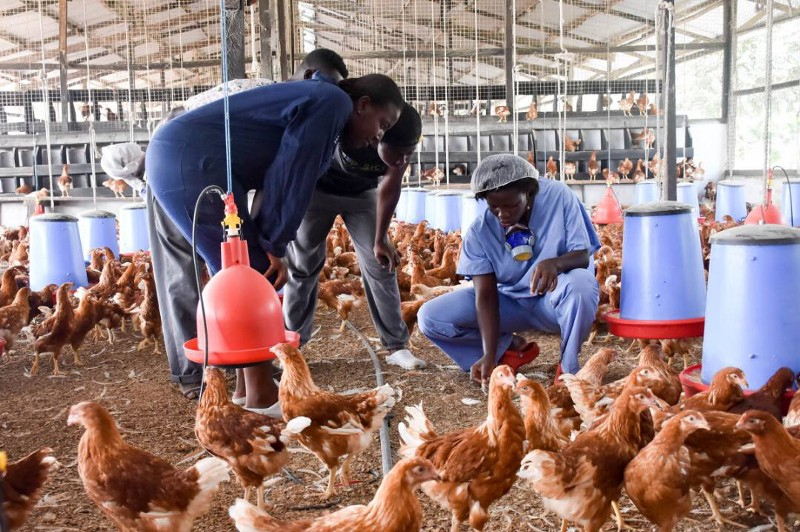 Staff from Rockland working in poultry farm.